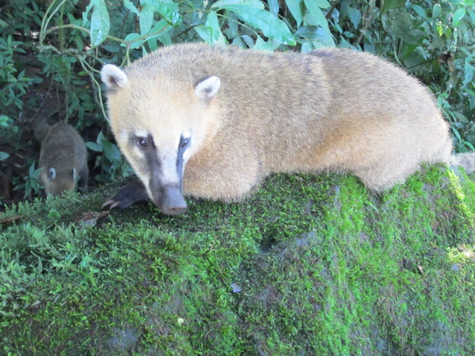 Coati Mundis are the raccoons of the southern hemisphere.