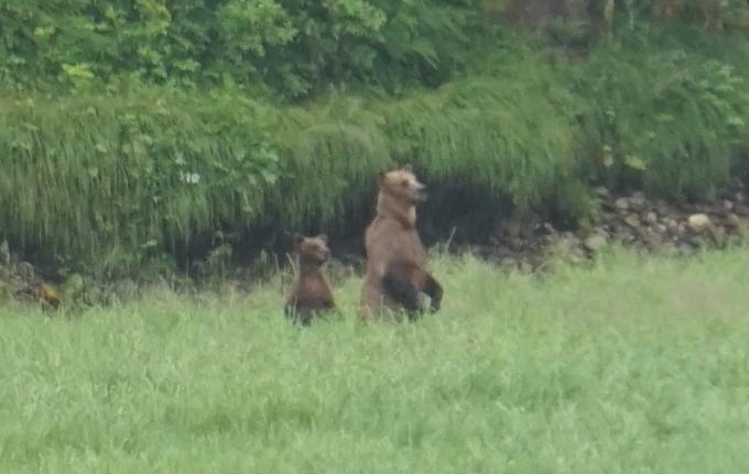 Bears Standing