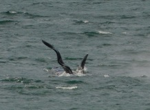 Whale watchers have been tracking this guy with the screwy dorsal fin for over 30 years.